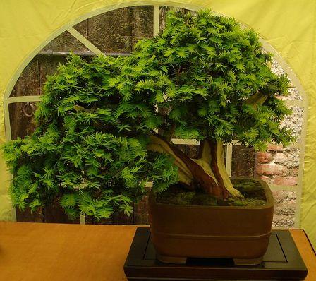tiszafa bonsai