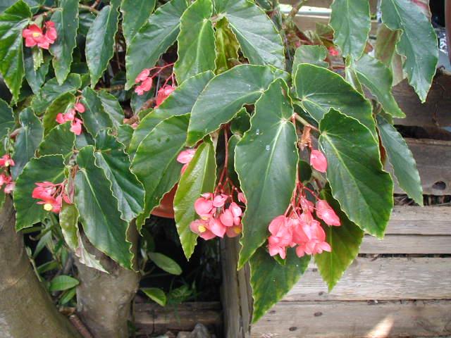 Begonia ´Anita Roseanna´