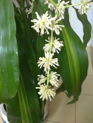 yukka virágai