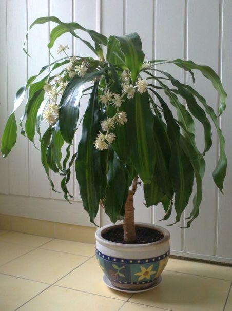 virágzó yukka