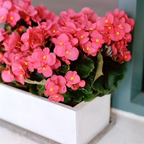 begonia-chiemantha