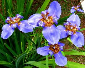 Neomarica virág