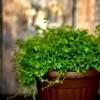 Hogyan neveljünk párnafüvet (Soleirolia soleirolii)?