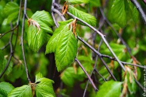 Ismerd meg a közönséges gyertyánt (Carpinus betulus)!
