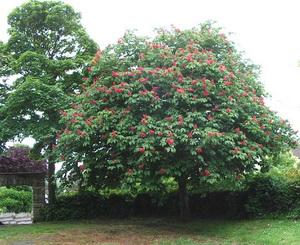 Vadgesztenyefa