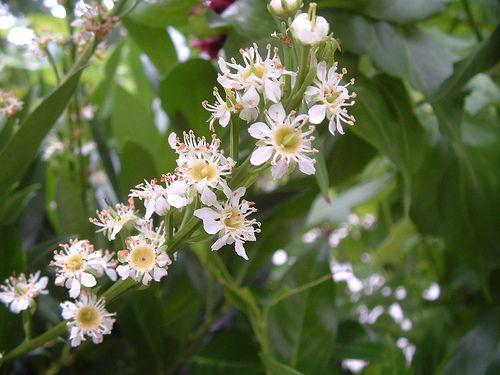 Babérmeggy, Prunus laurocerasus