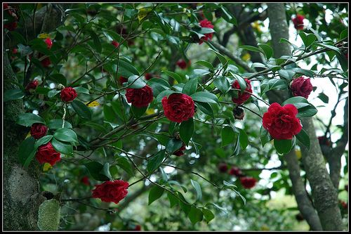 Kamélia, Camellia