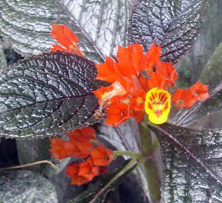 Chrysothemis virág