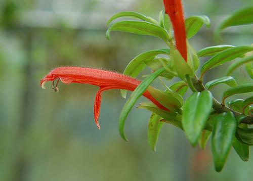 szájvirág
