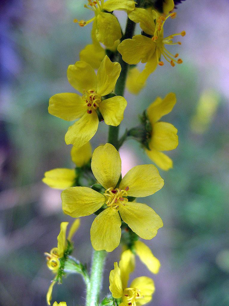 Agrimonia eupatoria, A közönséges párlófű