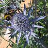 Hogyan gondozzuk a kék iringót (Eryngium planum)?