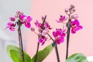 Mik az orchideák nevelésének titkai?