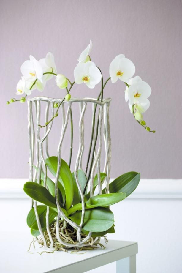 orchidea_lepkeorchidea