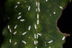 Mit érdemes tudni a kecskerágó-pajzstetűről (Unaspis euonymi)?