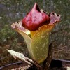A hatalmas titánbuzogány virág (Amorphophallus paeoniifolius) titka