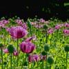 Ismerjük meg a veszélyes növényeket! Növényi drogok - 1. rész