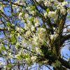 Ismerjük meg a szilvafákat! - A Santa Rosa szilvafa