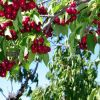 Miért szeretjük annyira a bing cseresznyefát?