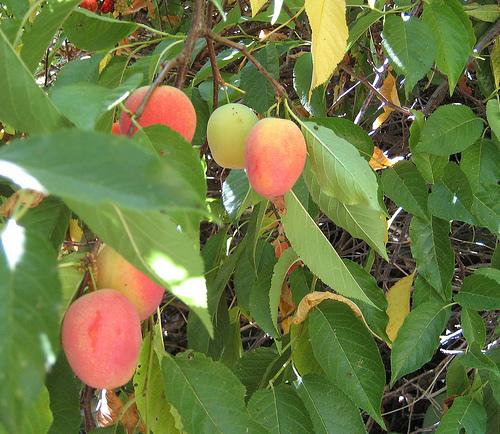 Burbank cseresznyefa