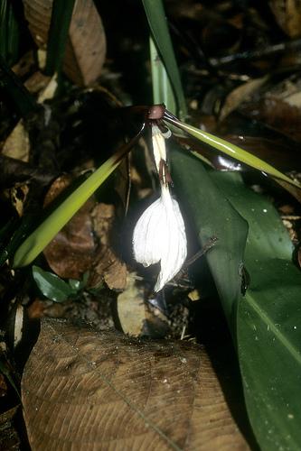 Orchidantha