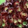 Hogyan díszítsük a kertünket pozsgás növényekkel? - 5. rész