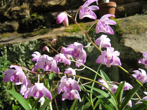 dendrobium-orhidea-ápolása