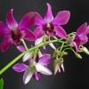 Hogyan gondozzuk a Dendrobium orchideákat?