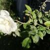 A rózsát megtámadó gombák