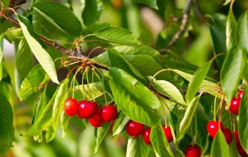 cseresznyefa ültetése