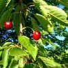 A cseresznyefáról