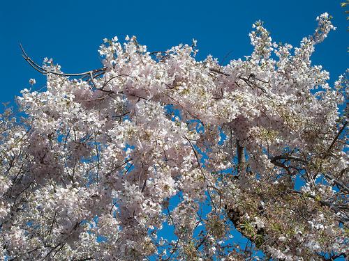 A Yoshino cseresznyefa