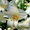 Mit tegyünk, hogy a húsvéti liliomunk ismét virágozzon? 2. rész