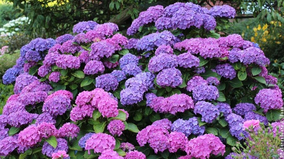 Hogyan gondozzuk a hortenziát, hogy rengeteg virágot hozzon?
