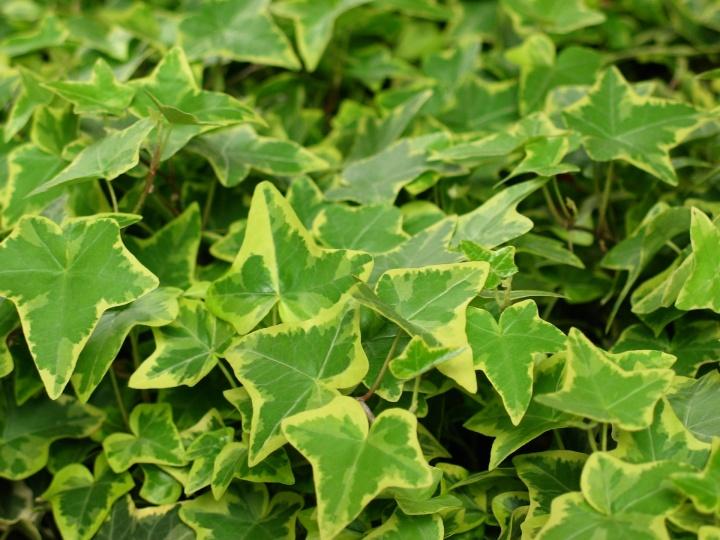 ivy-1160646_1920