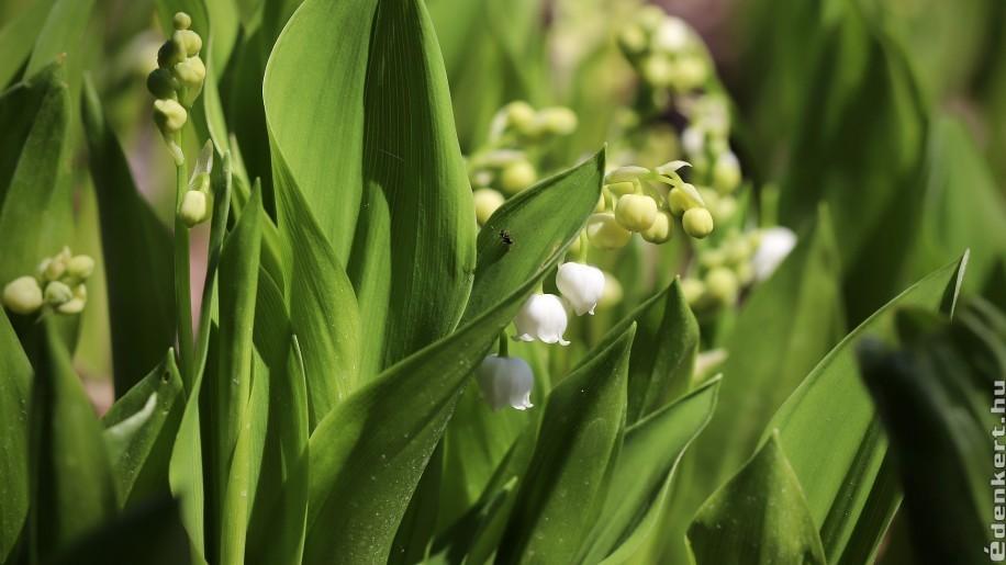 5 gyorsan terjeszkedő és szép talajtakaró növény