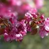 A legnépszerűbb virágzó díszfák