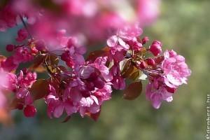 A legnépszerűbb virágzó díszfák (Prunus nemzetség)