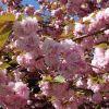 Ismerjük meg a cseresznyefákat! - A ˝Kwanzan˝ cseresznyefa