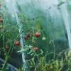 Hogyan termesszünk üvegházi paradicsomot otthon?
