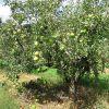 Ismerjük meg az almafákat! - A törpe Granny Smith almafa