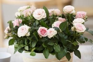 A beltéri mini rózsa gondozása