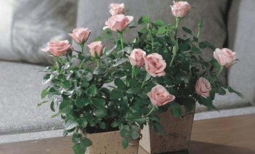 beltéri mini rózsa gondozása