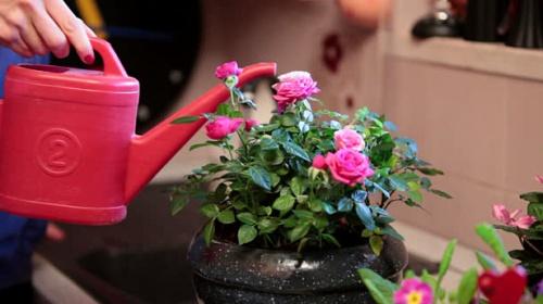 a mini rózsa sok vizet igényel