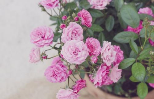 A mini rózsa szép, ajándéknak kiváló