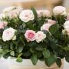 A mini rózsák gondozásának szabályai