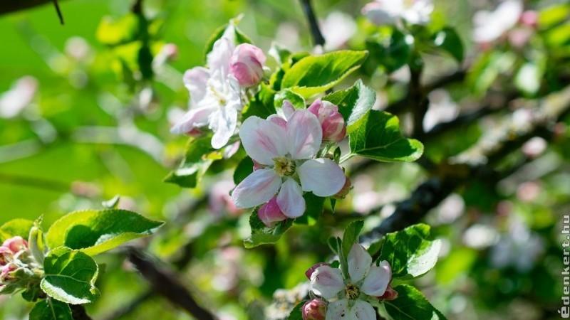 Az almafák ültetésének fortélyai
