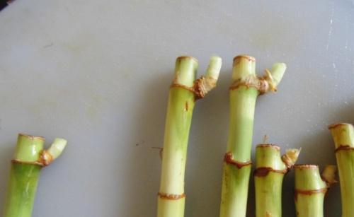 bambusz7