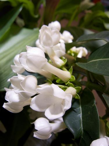 Koszorúfutóka Stephanotis floribunda