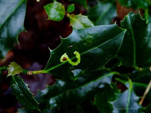 tölgy-levélaknázó-moly