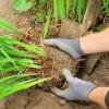 Virágzás után szaporíthatjuk a sásliliomot